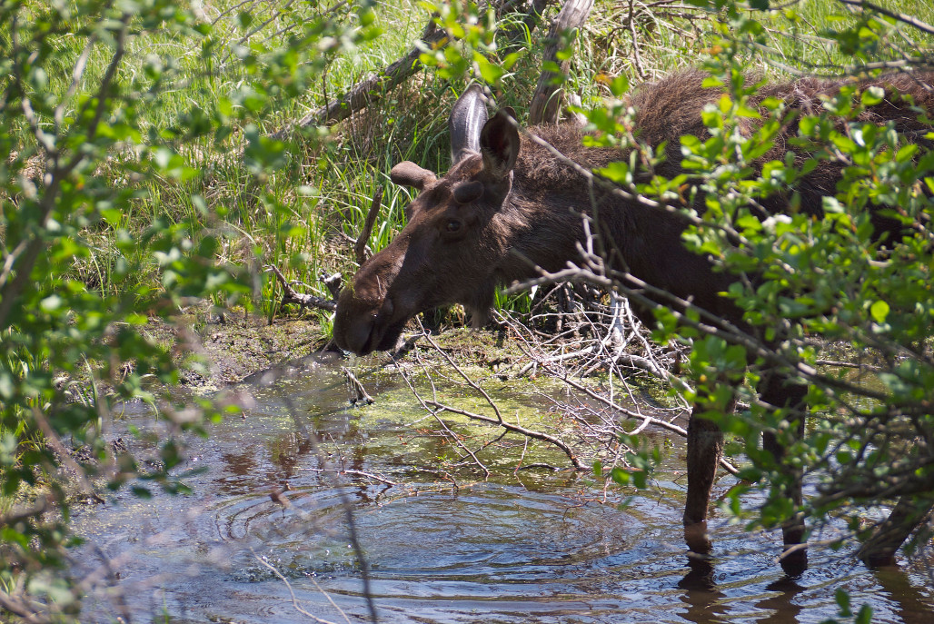 A Lesson In Writing From A Moose